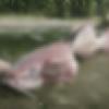 レッドデッドリデンプション2で釣ることができない「伝説のアメリカナマズ」